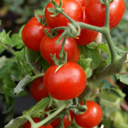 Tomato Seeds Large Red Cherry (Heirloom)