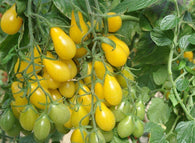 Tomato Seeds Cherry Yellow Pear (Heirloom)