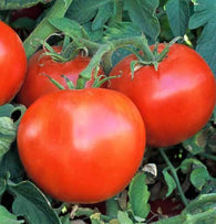 Tomato Seeds Wisconsin 55 (Heirloom)