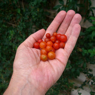 Tomato Seeds Cherry World's Smallest