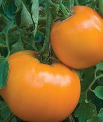Tomato Seeds Golden Jubilee (Heirloom)