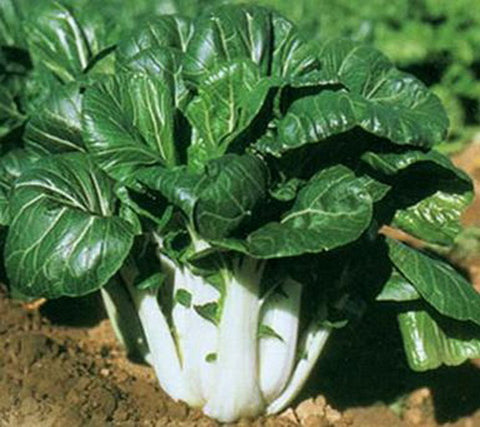 Pak Choy Seeds White Stem (Heirloom)