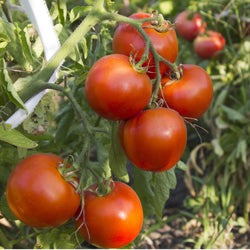 Tomato Seeds Arkansas Traveler (Heirloom)