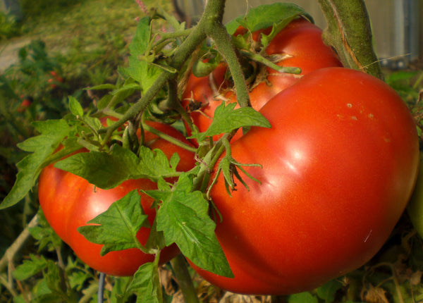 Tomato Seeds Beefsteak (Heirloom)