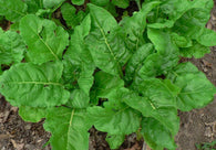 Chard Seeds Perpetual (Heirloom)