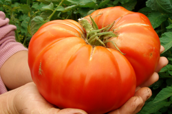 Tomato Seeds Delicious (Heirloom)