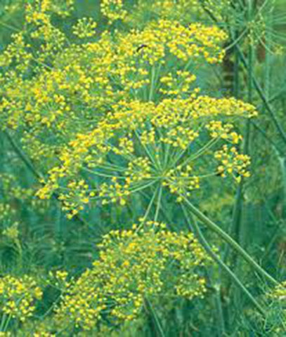 Herb Seeds DIll (Long Island Mammoth)