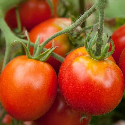 Tomato Seeds Glacier Cherry