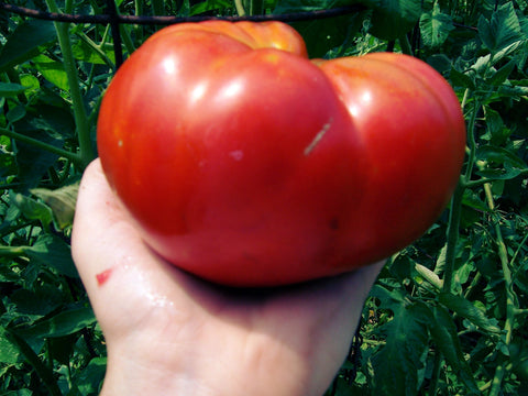 Tomato Seeds Mortgage Lifter (Heirloom)