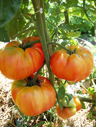 Tomato Seeds Old German (Heirloom)