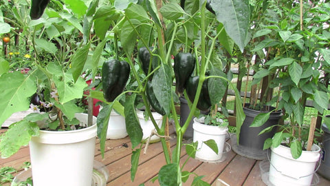 Pepper Seeds Ancho (Heirloom)