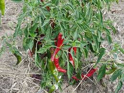 Pepper Seeds Cayenne Long Slim (Heirloom)