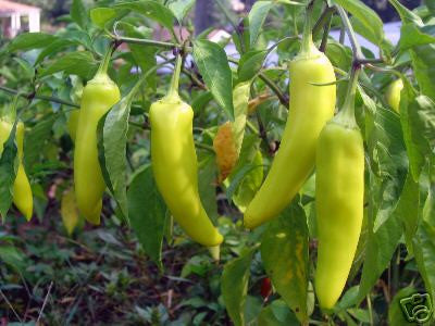 Pepper Seeds Hungarian Yellow Wax Heirloom The Rusted