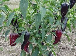 Pepper Seeds Mulato Isleno (Heirloom)