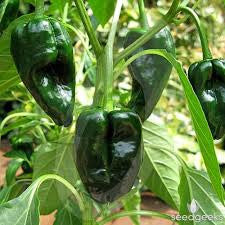 Pepper Seeds Poblano (Heirloom)