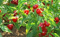 Pepper Seeds Red Cherry Hots