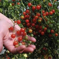 Tomato Seeds Red Currant