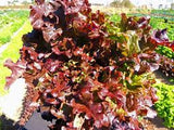 Lettuce Seeds Salad Bowl Red (Heirloom)