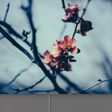 Cherry Blossoms and enlighten your pics with fabric lightbox