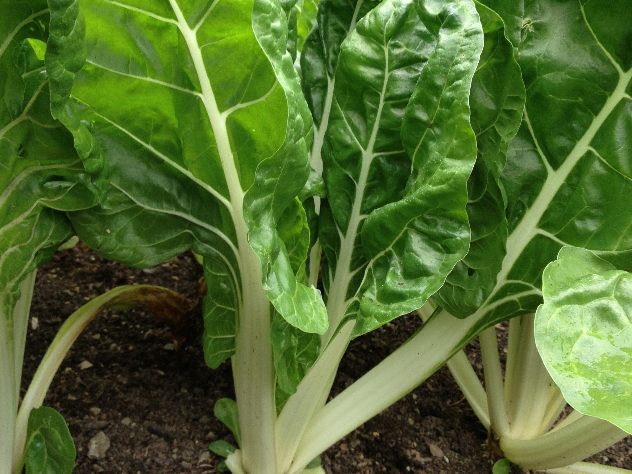 All about… Swiss Chard, Fordhook Giant