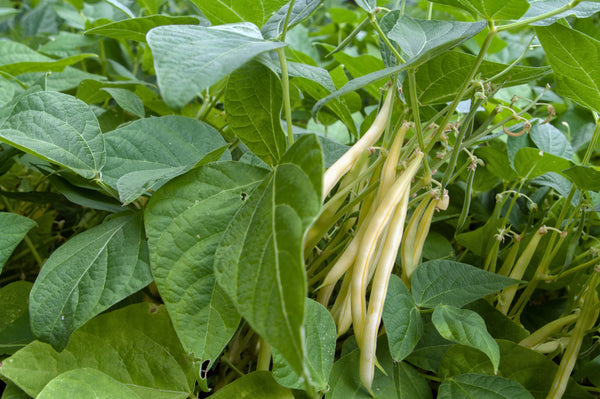 Goldrush Wax Bush - Bean Seeds