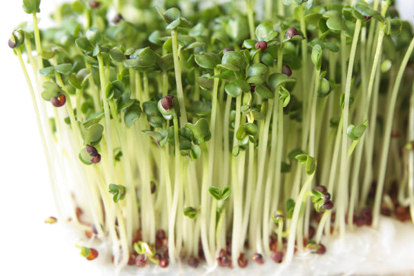 Broccoli, DiCicco Organic Microgreen Seeds