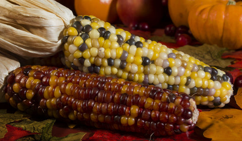 Carousel Ornamental Corn Seeds