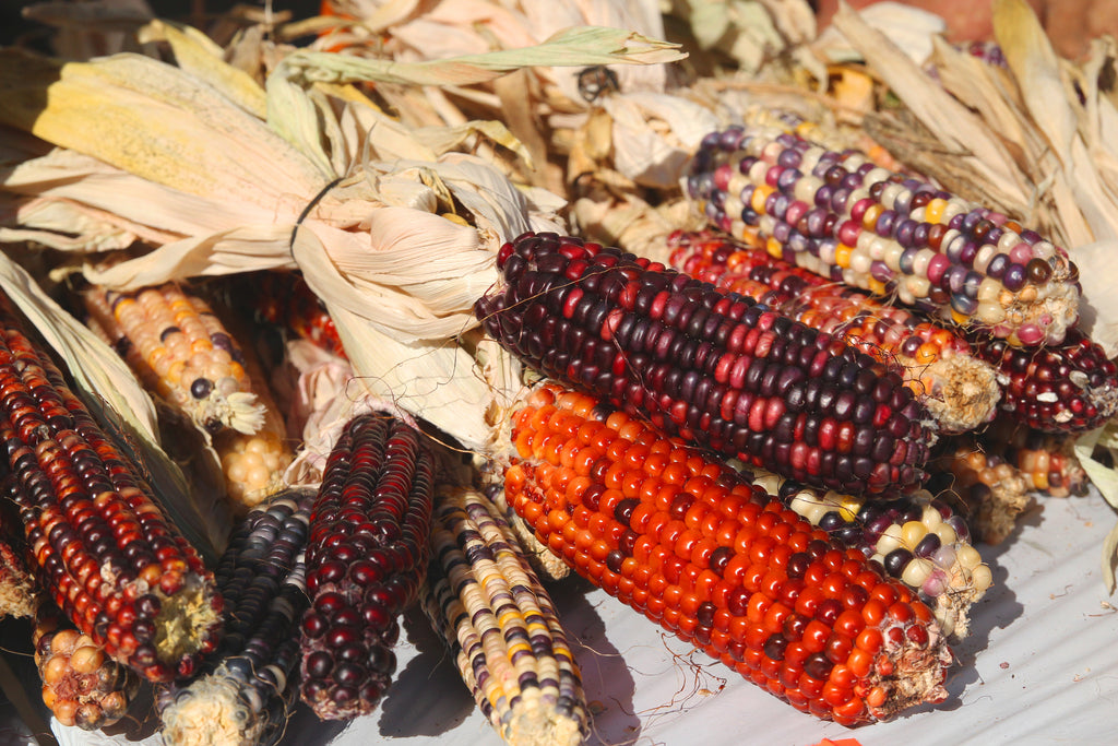 Corn, Ornamental Indian