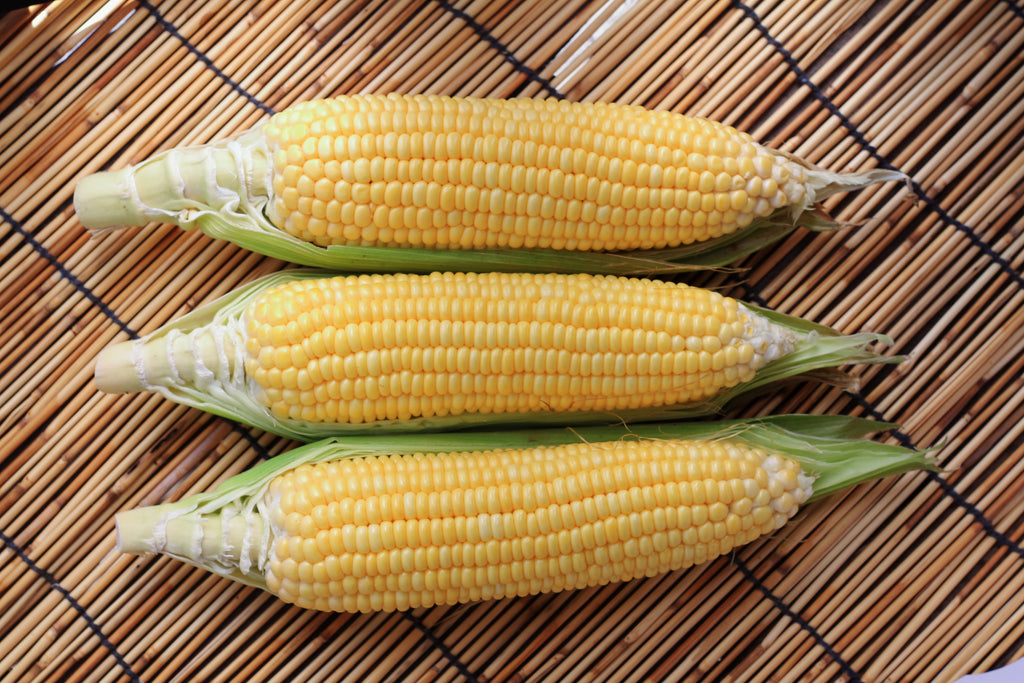 Precocious Hybrid Corn Seeds (Treated)