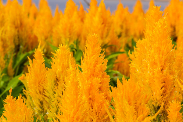 Celosia, Fresh Look Gold
