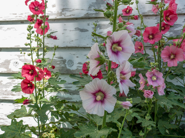 Hollyhock, Chater's Double Mix