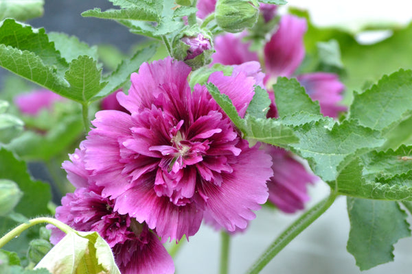 Hollyhock, Queeny Purple