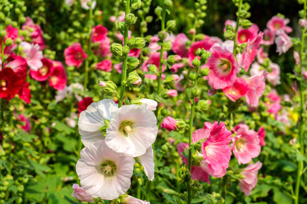 Hollyhock, Summer Carnival Mix