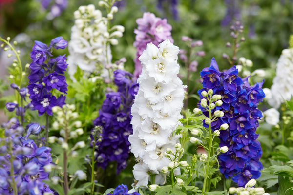 Larkspur, Giant Imperial Mix