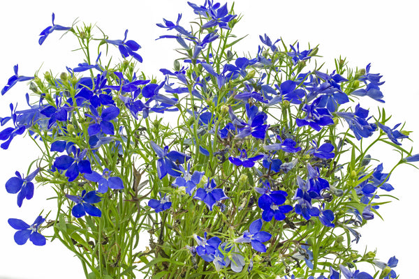 Lobelia, Crystal Palace- Annual Seeds