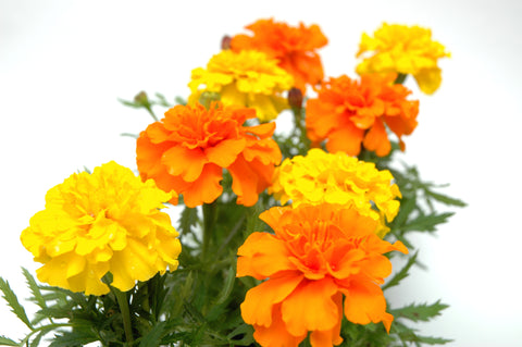 Marigold, Cracker Jack Mix