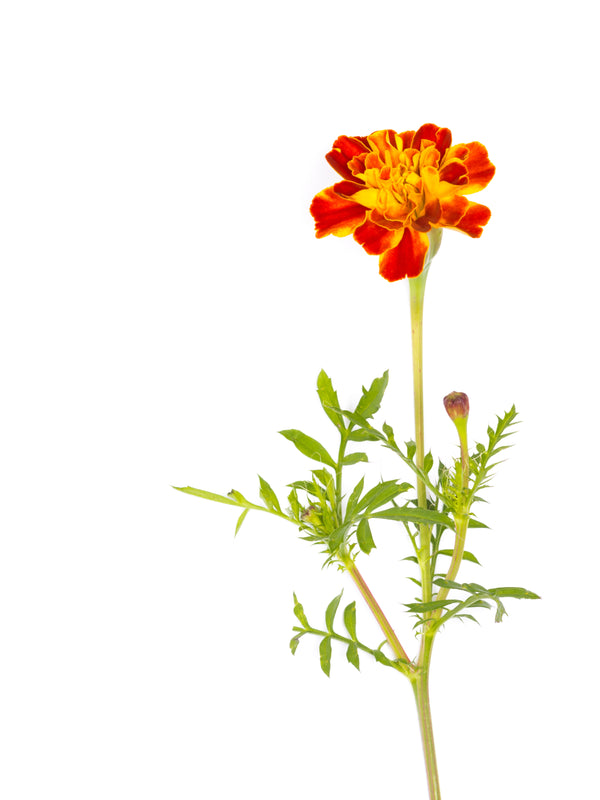 Marigold, Sparky Mixture