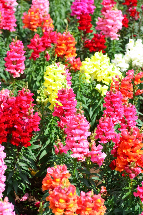 Snapdragon Maximum Mix