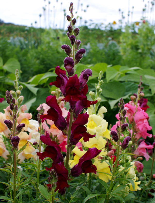 Snapdragon Sonnet Series - Mixed Color