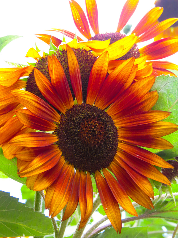 Sunflower, Autumn Beauty
