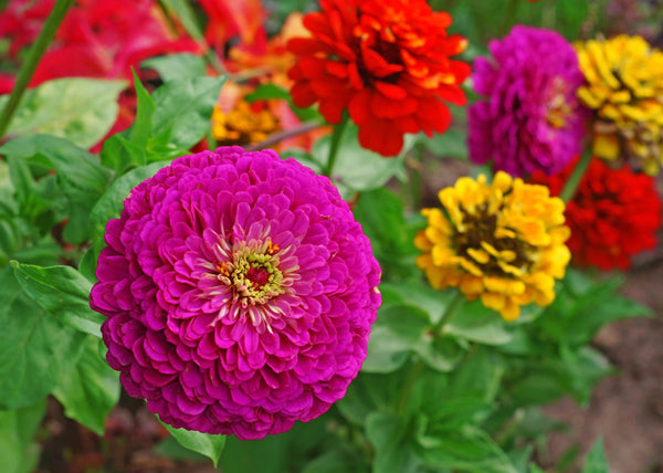 Zinnia, Lilliput Mixed Colors
