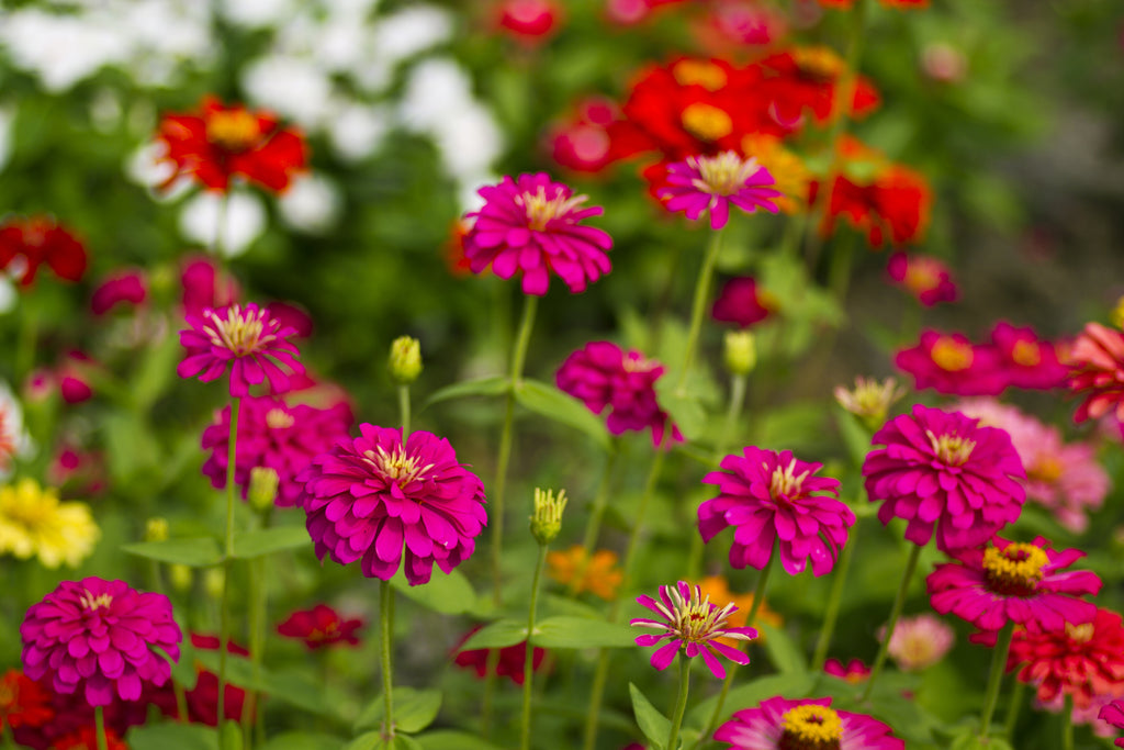 Zinnia, Thumbelina Mix