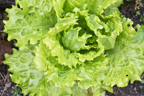 Summertime Lettuce Seeds