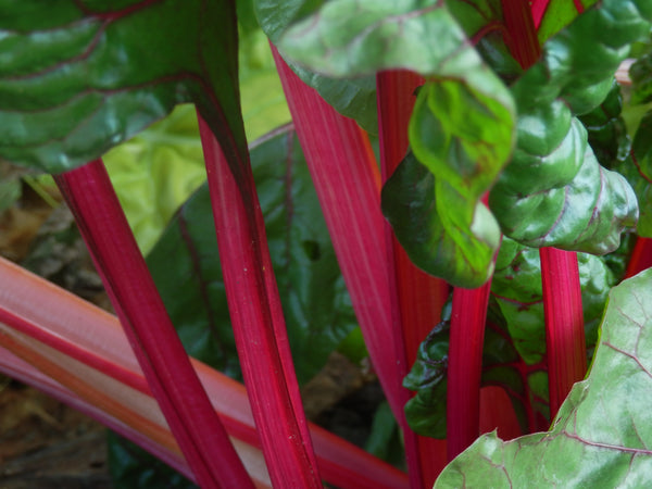 Swiss Chard, Flamingo (Pink) Seeds