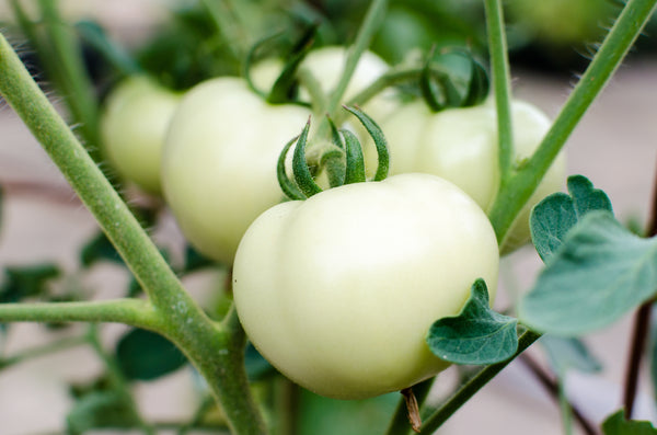 Great White - Tomato Seeds