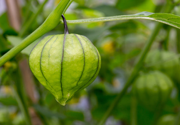 Grande Rio Verde Tomatillo Seeds - Heirloom