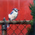 Blue Jay on Fence