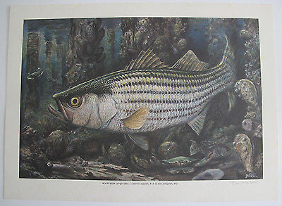 Rock Fish Lithograph Limited Edition Print Signed Chesapeake Bay Striper Ellis