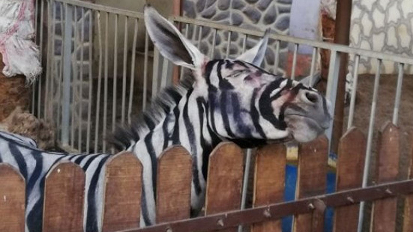 Egyptian Zoo Claims Their Zebra is NOT a Donkey