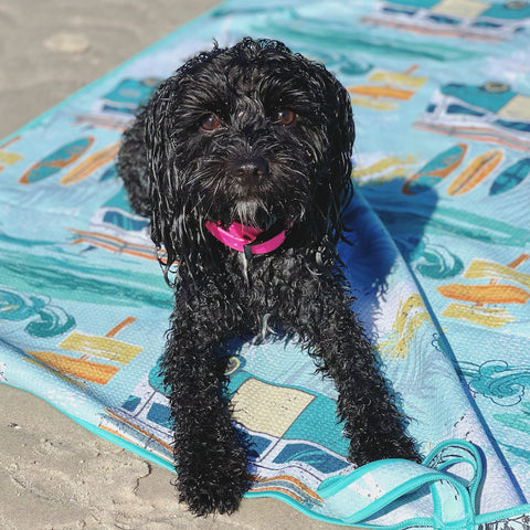 cavoodle on off leash beach dog safety Summer